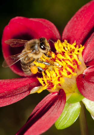Honey bee collecting pollen and nectar from a deep red dahlia flower in late summer.  Prominant pollen sacs visible. photo