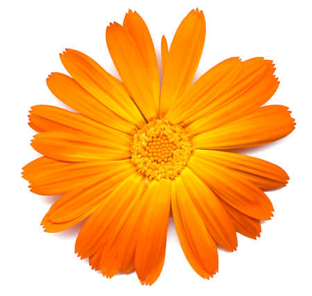Detailled study of a Callendula or marigold, flower on a white background photo