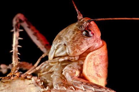 the antennae: Macro portrait of a relaxed grasshopper nymph showing details of the head, compound eye, antennae and spiny legs Stock Photo