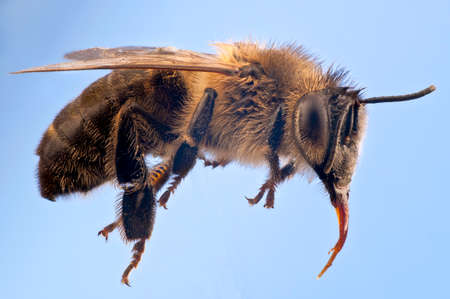 long tongue: Macro of a Honey bee, Apis mellifer, against a blue background suggesting flight.  Very clear  anatomical details including the long tongue, furry thorax and pollen basket on legs.  Pollen grains on the hairs. Stock Photo