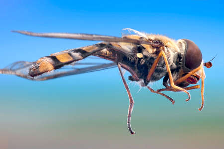 syrphid fly: Detailled macro of a ommon garden hover-fly, Episyrphus balteatus, in simulated flight. Stock Photo