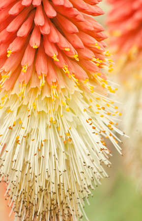 pokers: Macro of Red hot poker flowers, Kniphifia in late summer in an English garden.