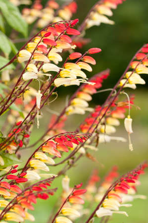 spanish flag: Detail of Spanish Flag, Mina lobata, flowers in early autumn.