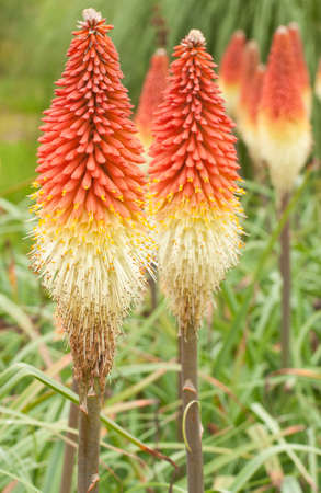 pokers: Group of Red Hot Poker flowers, Kniphifia in late summer in an English garden. Stock Photo