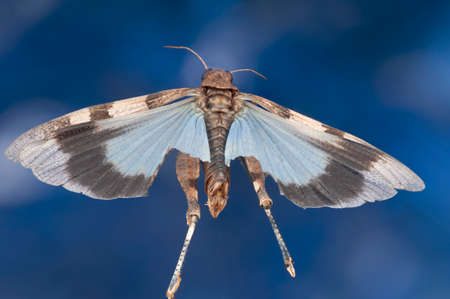 apparently: Grasshopper with blue wings, Oedipoda caerulescens, apparently flying through the air with blue sky behind, wings outstretched.  From behind and above to show the wings