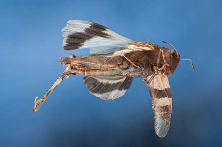 apparently: Grasshopper with blue wings, Oedipoda caerulescens, apparently flying through the air with blue sky behind, wings outstretched. Side view. Stock Photo