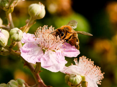 mellifera: Honey bee (Apis mellifera) collecting pollen and nectar from a pale mauve blackberry flower (Rubus fruticosus).