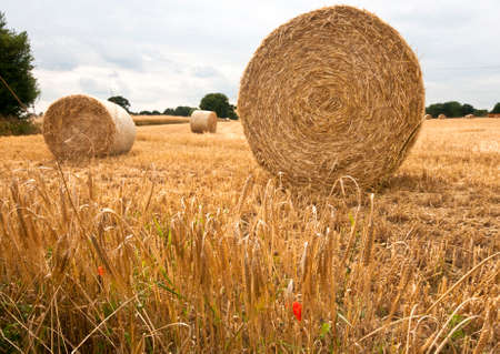 wheatfield: Large round bales of hay in a recently harvested wheatfield with ripe wheat and a poppy in the foreground. Stock Photo