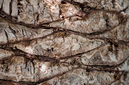 date palm tree: Detail of cut leaf bases on the bark of a date palm tree.  Rough textured background