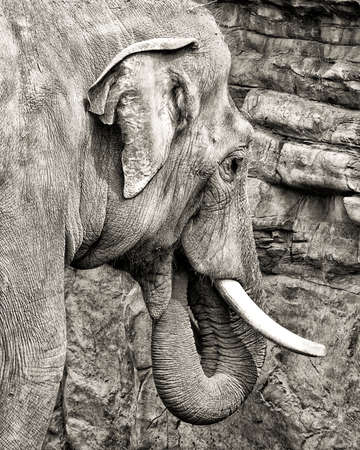 tusks: Female Asian elephant ,with trunk in mouth,feeding on salt from a cliff.  Head with tusks, HDR, black and white