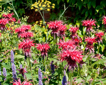 keen: Common beebalm (Monarda didyma) flowers in the gardens of Chartwell House, Winston Churchills home until his death in 19654.  He was a keen gardener.  Pink spiky flowers in a mixed plot. Stock Photo