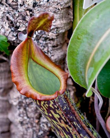 rajah: Nepenthes rajah, la enorme planta de jarra carn�vora desde el Monte Kinabalu, Sabah. Detalle de la boca de la jarra. Foto de archivo
