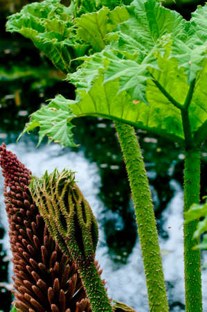 spines: Detail of the South American Gunnera manicata, or giant rhubarb showing leaf and stem spines, leaf bud and flower next to a pond.