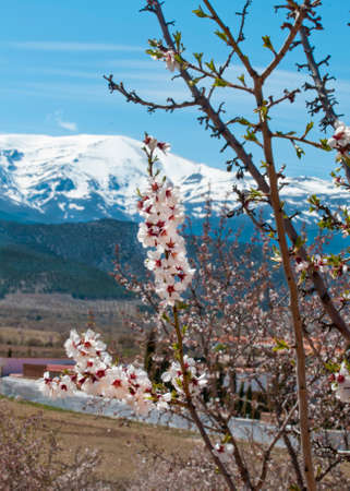 sierra snow: Springtime almond blossom, Prunus dulcis, in front of the snow covered Sierra Nevada in southern Spain.