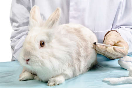 Provide veterinarian treatment rabbits at syringe Stock Photo