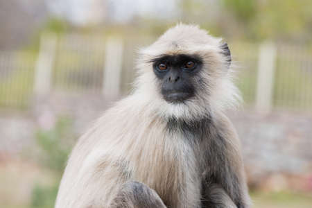 semnopithecus: single white app in india looking up Stock Photo
