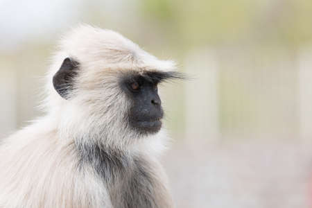 semnopithecus: portrait of a single white ape in india