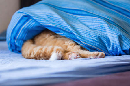 wind down: red tiger cat hiding under bed sheet