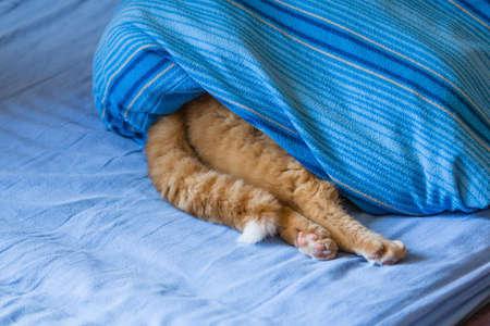 red tiger cat hiding under bed sheet