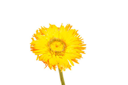 yellow blossom: single yellow blossom before white background