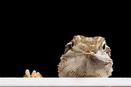 bearded dragon: bearded dragon looking in the picture out of a black background Stock Photo