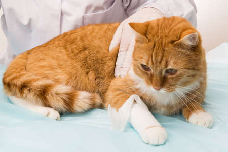 violation: cat violation is treated by vet Stock Photo