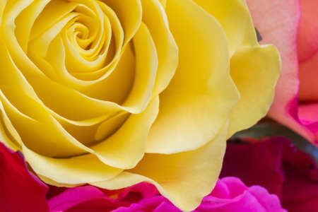 and magnificent: tender roses in magnificent colors