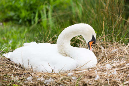 look after: swan lying in his lair for breeding Stock Photo