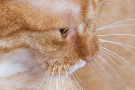 profile of a red tiger cat as closeup photo