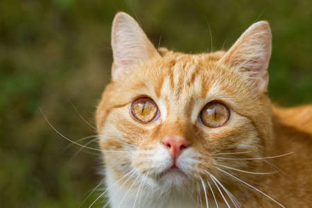 lurking: red tiger cat lurking in the grass Stock Photo