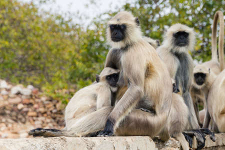 semnopithecus: ape family sitting on a wall in india Stock Photo