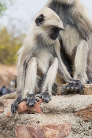 semnopithecus: ape family sitting on a stone in india