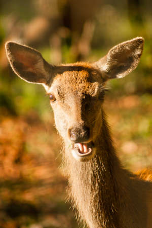 chew over: portrait of a deer eating some grass, seemed to laugh