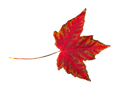 acer: single leaf of a maple in front of a white background Stock Photo