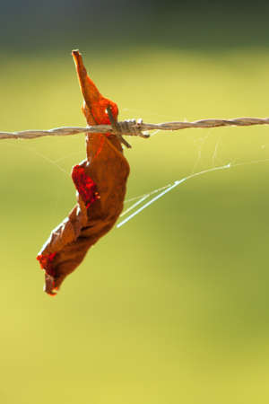ist: a leaf ist hanging at a barbed wire Stock Photo