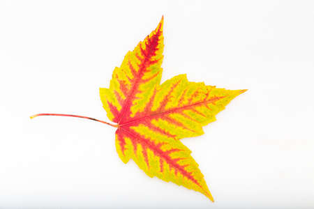 single leaf of a maple in front of a white background Stock Photo