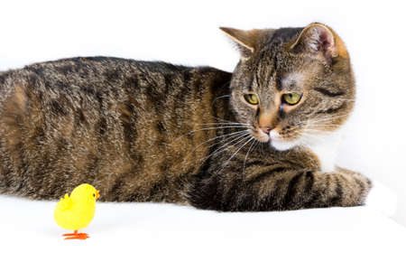 david and goliath: cat playing with a toy duck against white background