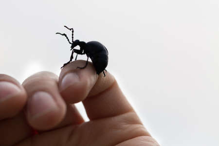 cantharis: big beetle climbing of the hand of a person Stock Photo