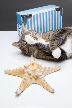 twee: cute tiger cat lying in front of a blue box behind a starfish Stock Photo