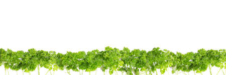 line of parsley against white background