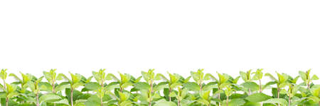 line of mint against white background
