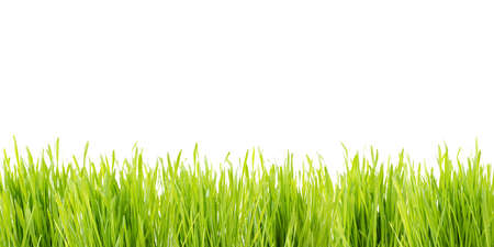 green wheatgrass against white background Stock Photo
