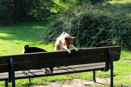 a two tone basenji standing on a wooden bench making some fun at meppen emsland germany photographed during a walk in the nature in multi colored