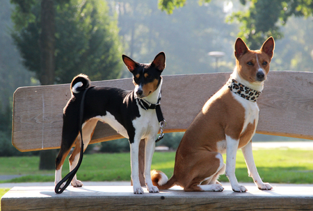 a tri color and a two tone basenji sitting on a wooden bench near meppen emsland germany photographed during a walk in the nature