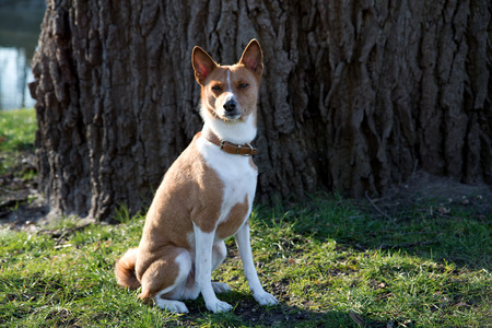 A two tone basenji sitting on a grassy field at meppen emsland germany photographed during a walk on the nature on a sunny day