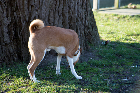 Side view of a two tone basenji sniffing a grassy field at meppen emsland germany photographed during a walk on the nature on a sunny day Stock Photo