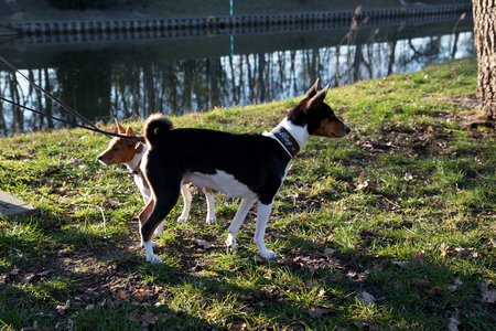Side view of a tri color basenji on a grass area with a two-tone puppy looking at meppen emsland germany photographed during a walk on the nature on a sunny day