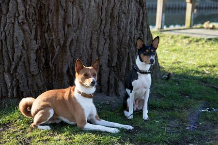 View on a two tone and tri color basenji sitting on a grass field at meppen emsland germany photographed during a walk in the nature on a sunny afternoon Stock Photo