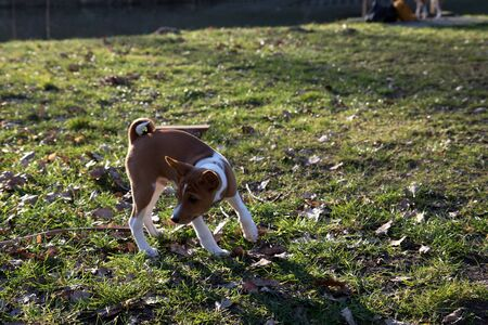 A two tone basenji puppy standing on a grass turning in the morning on a sunny afternoon Stock Photo