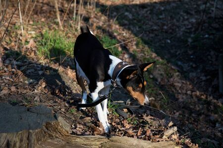 Side front view of a tri color basenji standing on a forest ground looking at meppen emsland germany photographed during a walk in the nature on a sunny late afternoon